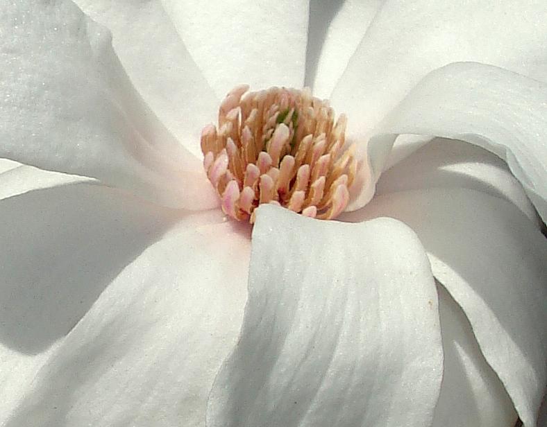 Magnolia2015n