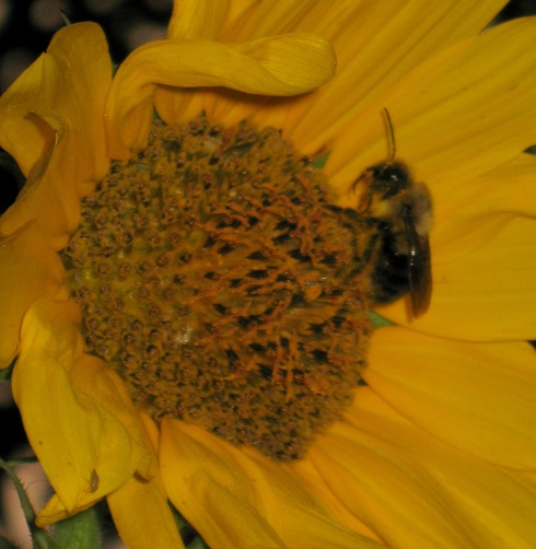 Sunflower-Bee2