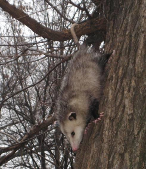 Opossum-TompkinsSquarePark